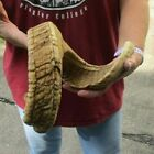 31 inch Sheep horn for horn carving taxidermy to make shofar #44091
