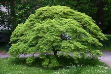 Fächerahorn 'Emerald Lace' Acer palmatum Ahorn Topf gewachsen  ca. 60-80cm