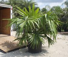 Livistona saribus - Taraw-Schirmpalme - 5 Samen - Palmen Samen