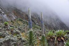 Lobelia wollastonii - Giant Lobelia - Pack of Seeds
