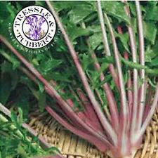 Rare Chicory red stem  - 20 seeds - UK SELLER