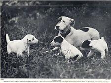 SMOOTH FOX TERRIER MOTHER AND PUPPIES CHARMING IMAGE OLD 1934 DOG PRINT
