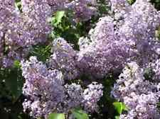 "10 Plants!! 12-24"":  Old fashion purple lilac shrub bush hardy perennial"
