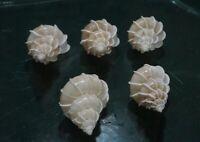 """Epitonium Scalare 39 - 40  mm F++/+++"""" set of 5 pcs  """"Angelic beauty""""  WOW!!!!"""