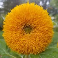 Sunflower Seeds Teddy Bear Helianthus Annuus Yellow Dwarf Flower Quantity Choice