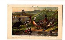 ca 1890 WILD DUCK BIRDS Antique Chromolithograph Print F.Specht