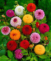 100Pcs Dahlia Flowers Seeds Rare Great Choice Colors Beautiful Garden Decoration
