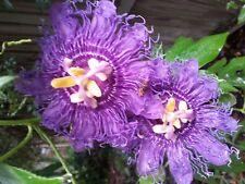 Passiflora Inspiration BEAUTIFUL DARK PURPLE FORM! SEEDS!