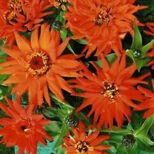 30+  Zinnia Inca Orange Flower Seeds / Annual