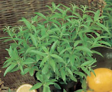 Verbena Lemon Aloysia citrodora Lippia citriodora herb plant 9cm pot