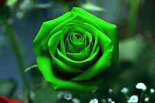 Beautiful Green  Rose Flower Seeds 80 SEEDS  --BUY 4 ITEMS FREE SHIPPING