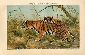 1895 KING TIGER Antique Chromolithograph Print Richard Friese