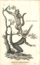 1800 cuatro dedos Mono y Mono mamífero placa grabada con cuernos-Shaw