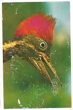 LINEATED WOODPECKER Bird Arima Valley TRINIDAD ASA Wright Nature Postcard KOPPEL