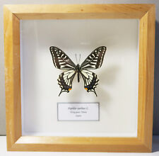 REAL JAPANESE SWALLOWTAIL BUTTERFLY LONGTAILED PAPILIO XUTHUS BEAUTIFUL FRAMED