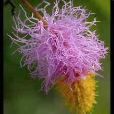 Dichrostachys Cinerea - Chinese Lantern - Rare Tropical Plant Tree Seeds (5)