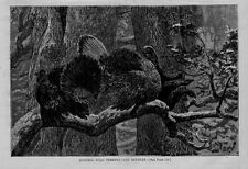 WILD TURKEY ROOSTING IN A TREE HUNTING WILD TURKEY THE RETREAT ANTIQUE ENGRAVING