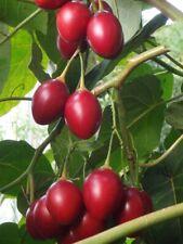 50 Graines de Tamarillo Jaune /'Cyphomandra Betaceum Yellow/' tree seeds