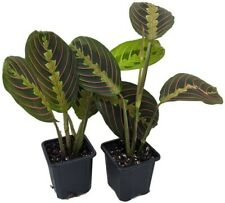 2 Red Prayer Plant Maranta Easy to Grow Live Houseplant 3