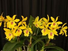 27- Eplc. Don Herman 'Gold Rush' Spring Bloomer-Easy to grow! Attractive! Nice