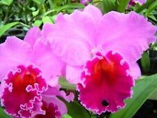 Rlc Mem Grant Eichler ~Lennette~ Lavender/Purple Cattleya Orchid Starter Plant