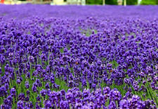 English Lavender Lavandula angustifolia 250 seeds * Elegant * Beautiful * CombSH
