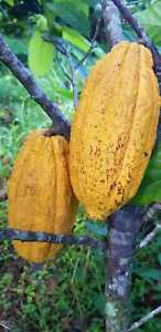 2 Fresh, Sustainably-Grown Cacao Pods Grown In Puerto Rico
