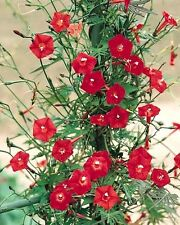 30 Cardinal Climber Vine Red Flower Seeds Ipomea Quamoclit + Gift & Comb S/H