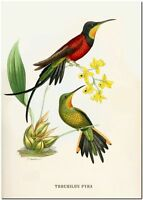 "Vintage Hummingbird Art John Gould CANVAS PRINT~ TROCHILUS PYRA 24x16"""