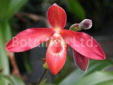 Botanica Ltd. Phragmipedium Mem Dick Clements *Division* Orchid Plant