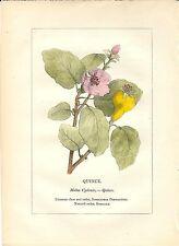 Stampa antica PIANTE DELLA BIBBIA MELA COTOGNA 1842 Old antique print