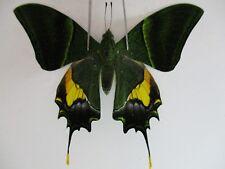 PA3205. Unmounted butterflies:Teinopalpus imperialis.Central Vietnam. Over 2000m