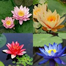 10 seeds 4 color mix Lotus Flower Seed water Aquatic Plants Nelumbo super
