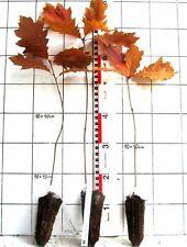 Quercus rubra  -  amerikanische Roteiche     (Pflanze)