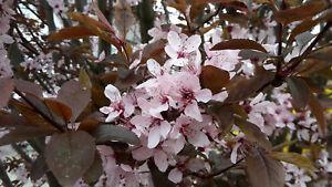 Prunus cerasifera Nigra, Blutpflaume, 60-70cm, süße Früchte