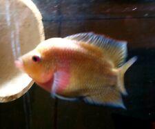 Breeding pair Golden Flame Flowerhorn Live Freshwater Aquarium Fish