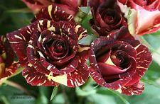 Heirloom Gannan Yellow Red Rose Shrub garden Flower - 10 Viable seeds -UK Seller