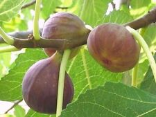 Brown Turkey Fig (30 seeds) fresh this season's harvest from my garden