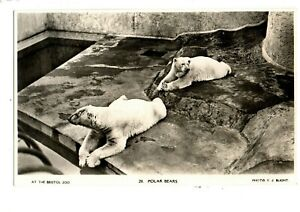 RP Postcard - At Bristol Zoo, Polar Bears.
