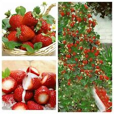 100pcs Climbing Strawberry Tree Seeds Courtyard Garden Fruit Home Potted Plant
