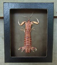 E301) Real MANTIS SHRIMP Squilla framed 4X5 mount Taxidermy Display crab USA