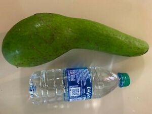 Huge longneck avocado tree seed- only one available- hard to find variety
