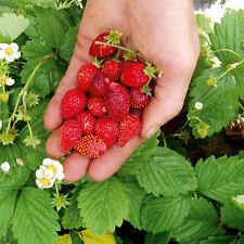 Seeds Rare Strawberry Regina Everbearing Climbing Berries Organic Ukraine
