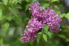 Old Fashioned Lilac Bush, Syringa vulgaris - Live Bare Root Plant