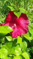 Red Hardy Hibiscus 3 Gal. Large Plant Huge Flowers Easy To Grow Plants Garden !
