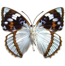 One Real Butterfly Mimathyma Schrenckii Blue White China Unmounted Wings Closed