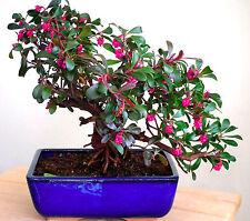 COMMON BEARBERRY - 30 seeds BONSAI - kinnikinnick - Arctostaphylos uva-ursi