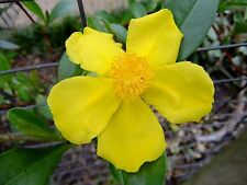 Cottage Garden Patio Contenitore Hosta Gold Standard-OMBRA amorevole