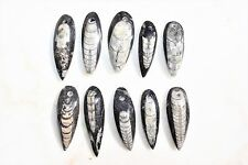 [10] CHARGED Baby Moroccan Orthoceras Fossil Pre-drilled Pendants DIY Jewelry