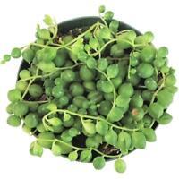 String Of Pearls Plants Succulents Senecio Rowleyanu Plants (2'' or 4'' or 6'')